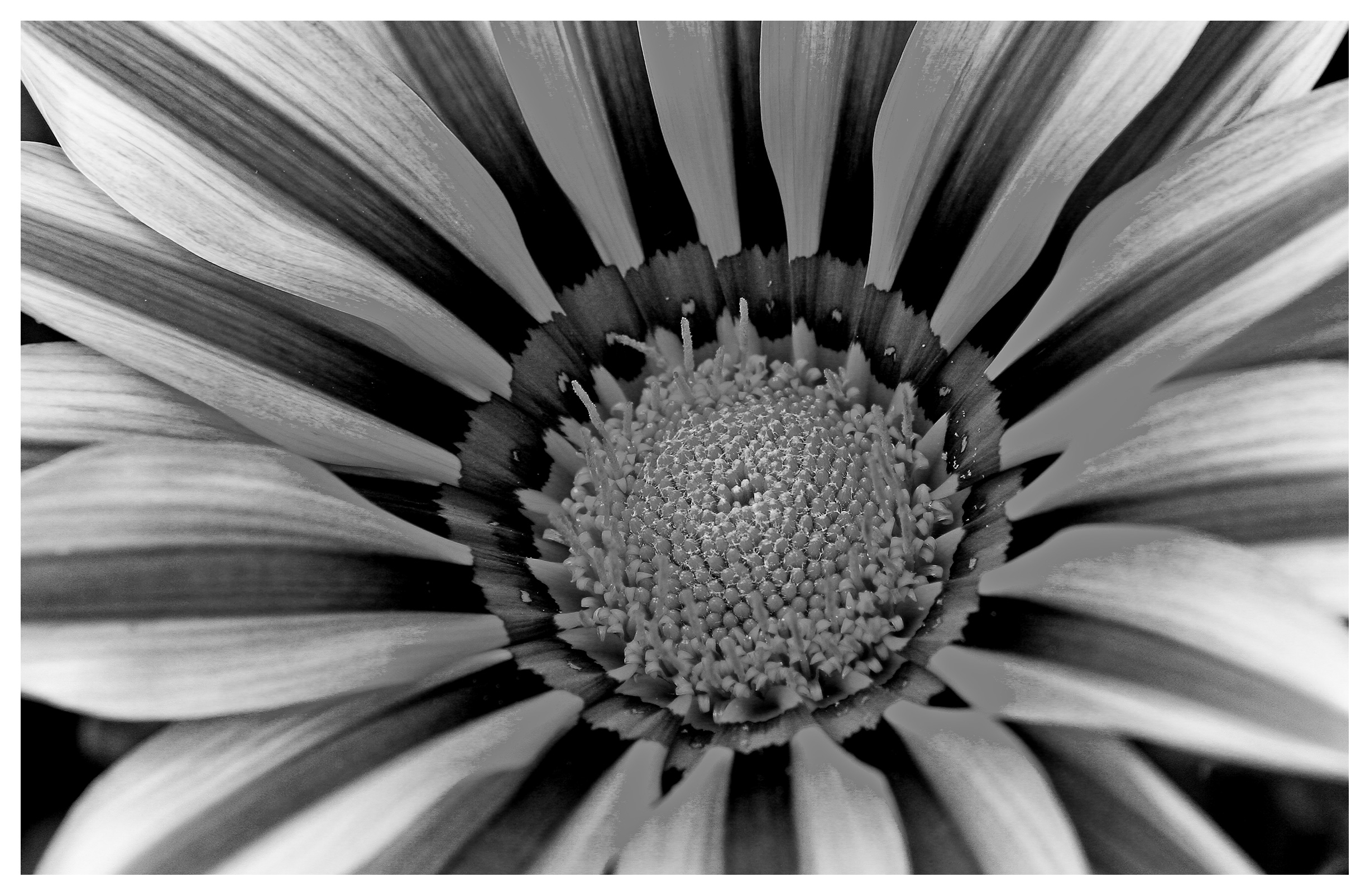 Image of Rudbeckia in black and white