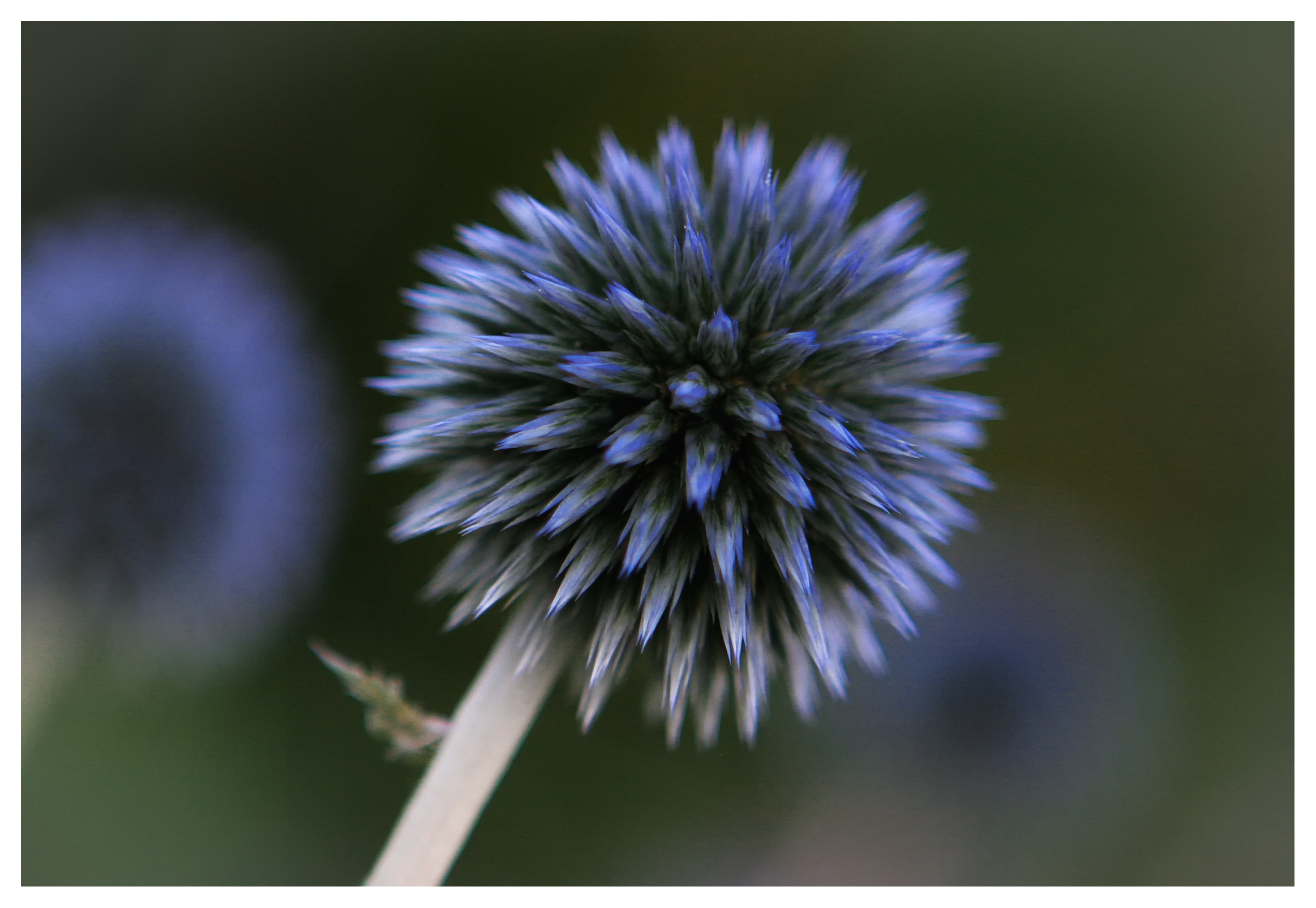 Image of Globe Thistle (Echinops). Coombe garden
