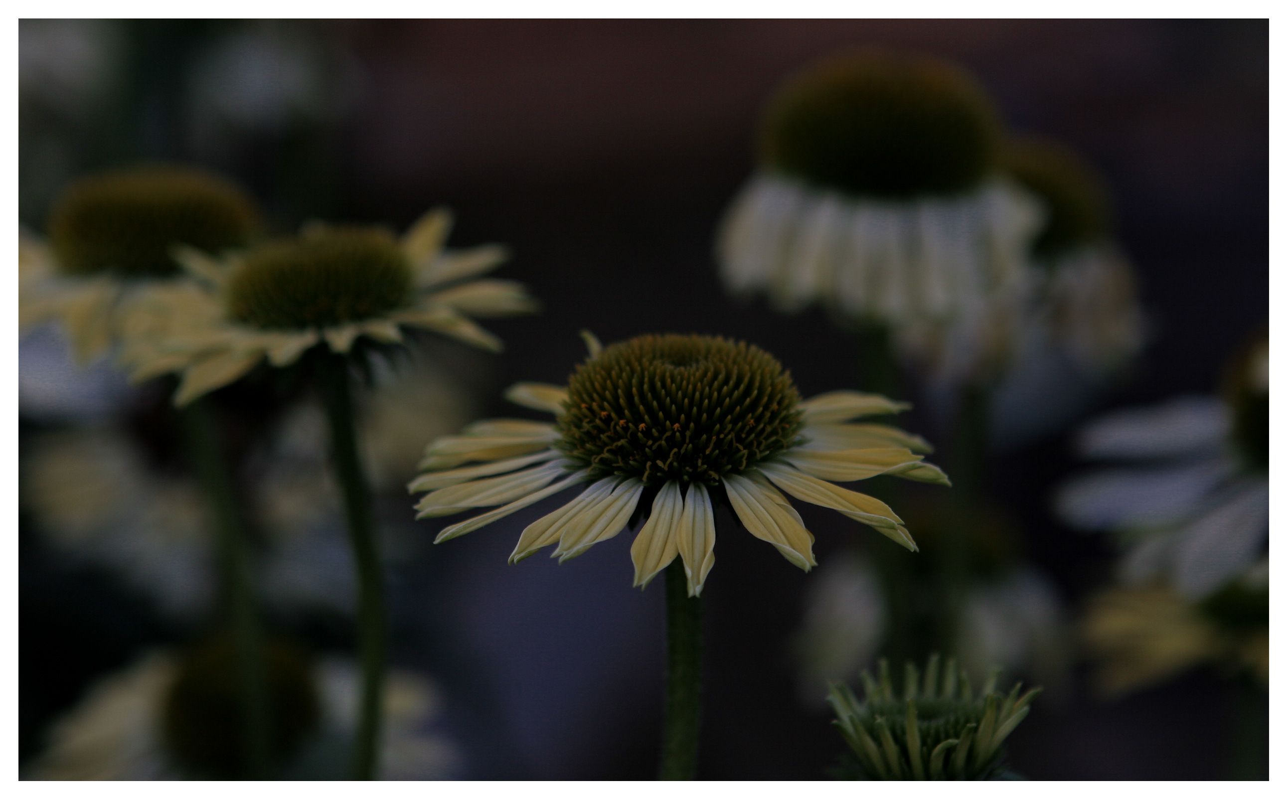 Image of Echinacea flowers