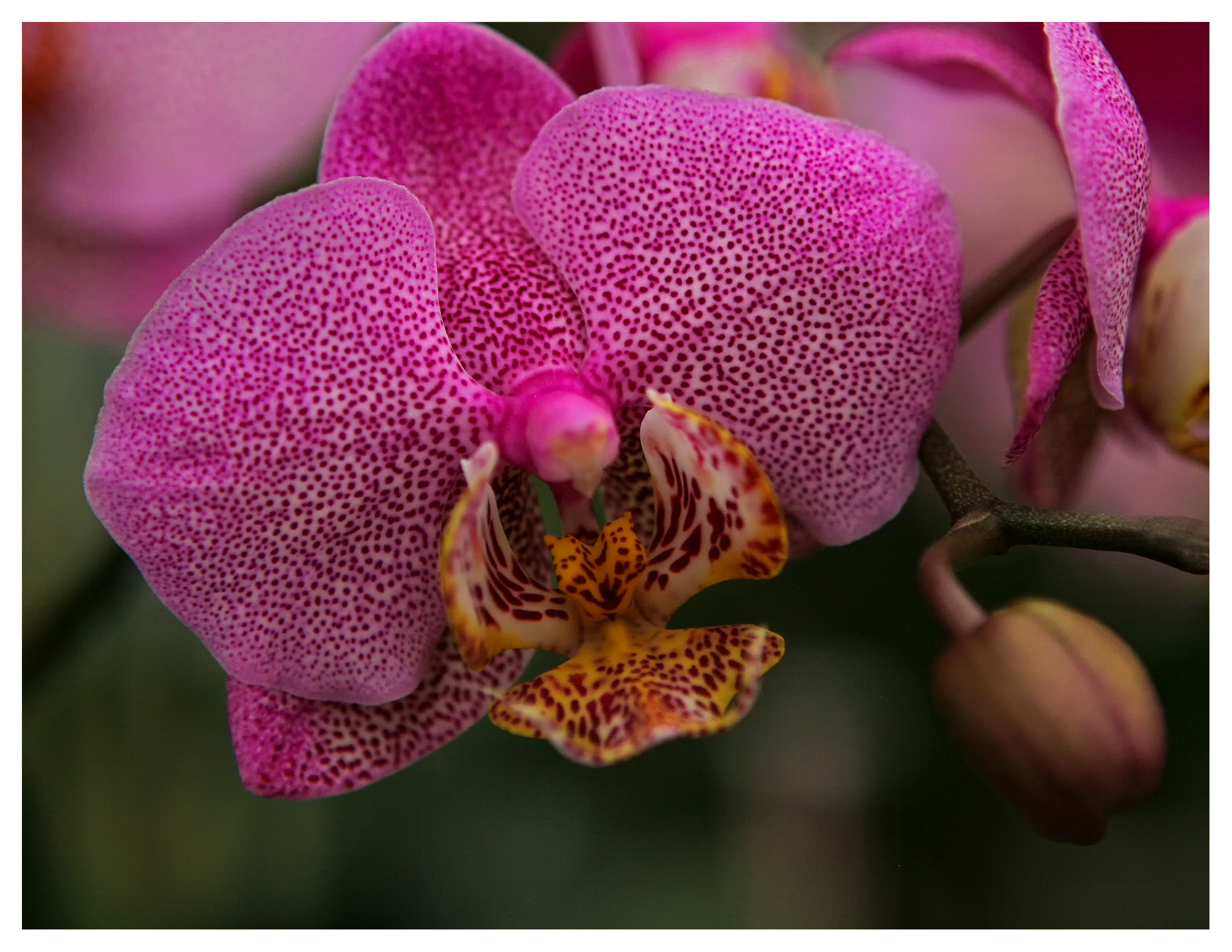 Image of Speckled orchid flower (Phalaenopsis). RHS Wisley