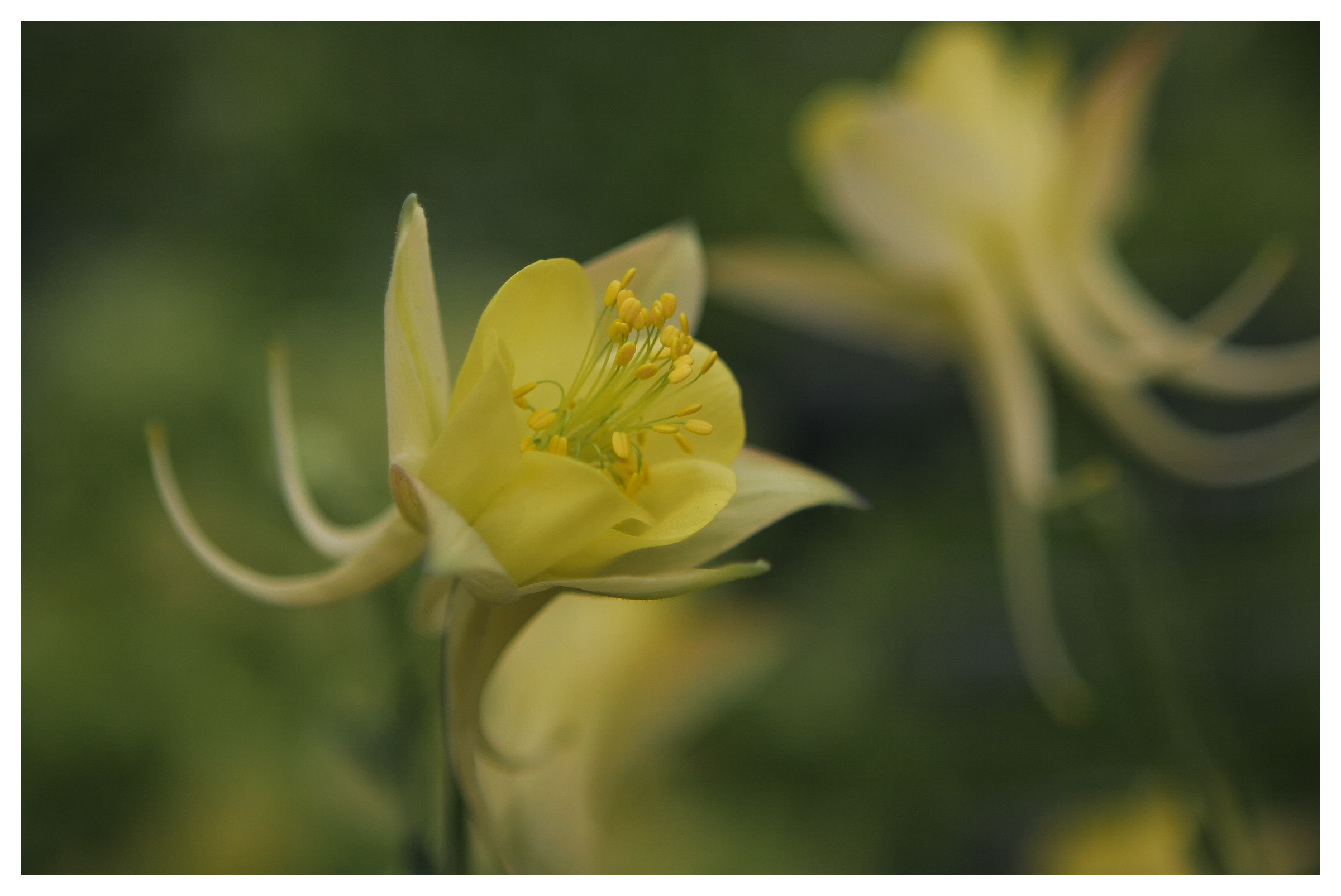 Image of Aquilegia Chrysantha or Yellow Queen