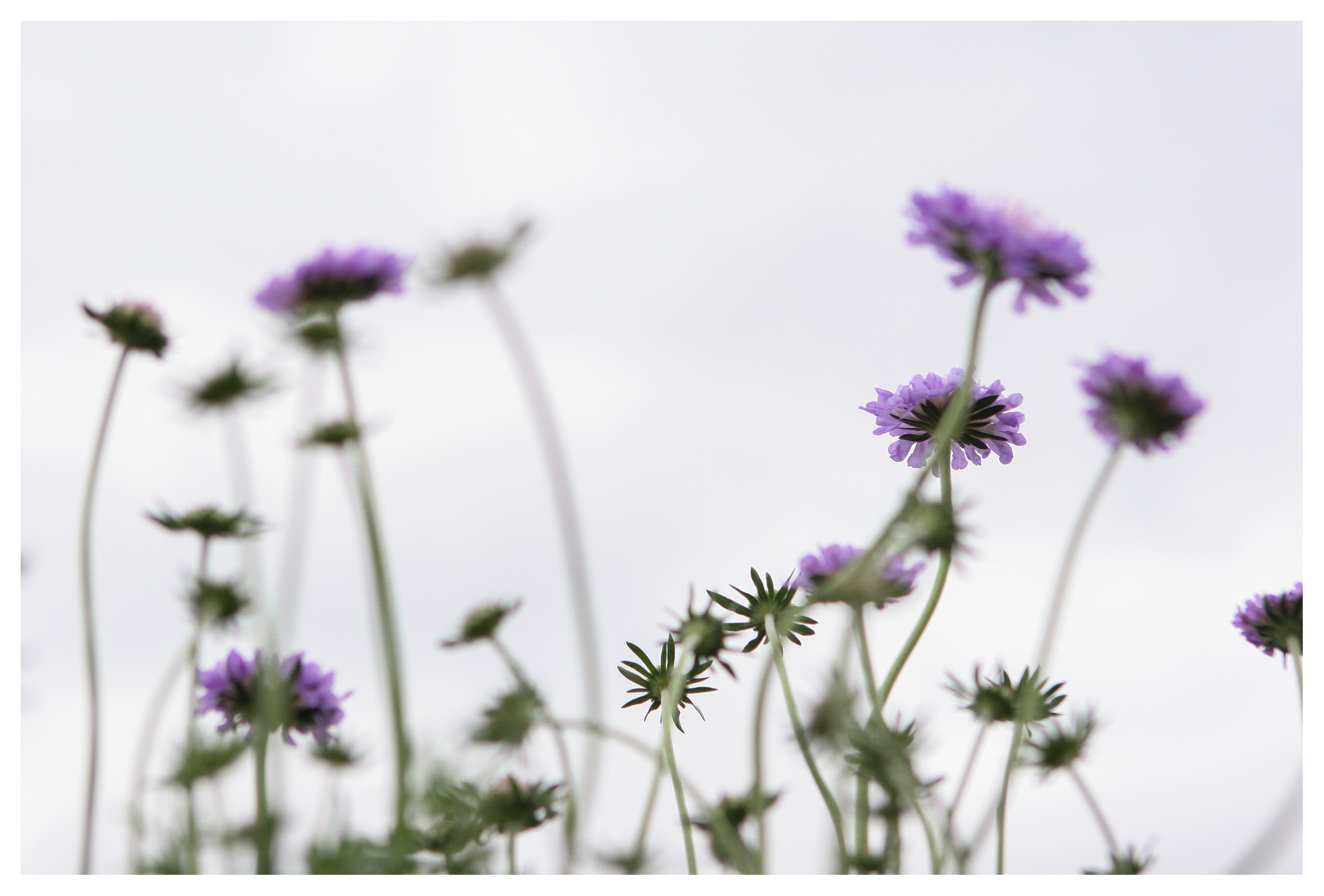 High key photo of Field Scabious against a bright sky