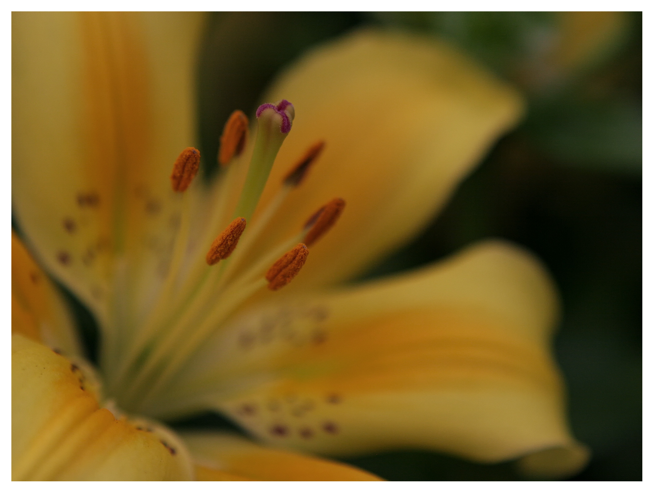 Image of Yellow lily flower, stigma and stamens. RHS Wisley