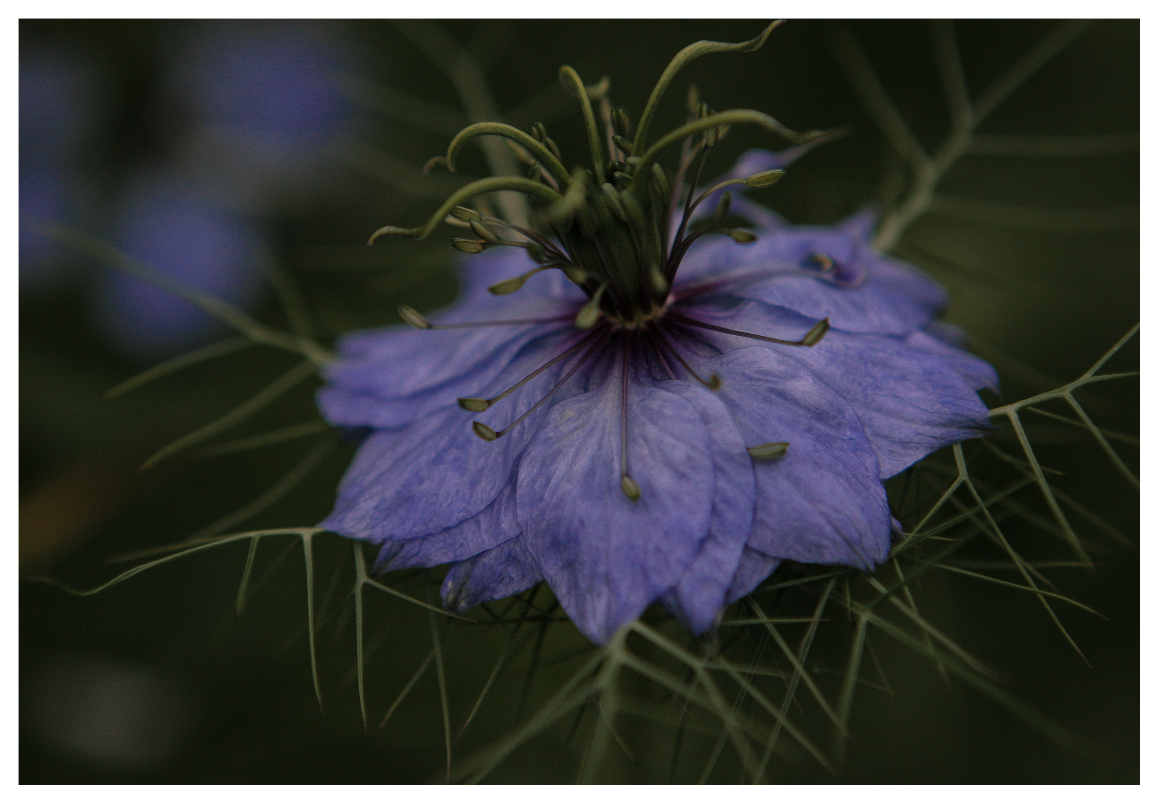 Image of Nigella damascena 'Deep Blue' flower. RHS Wisley