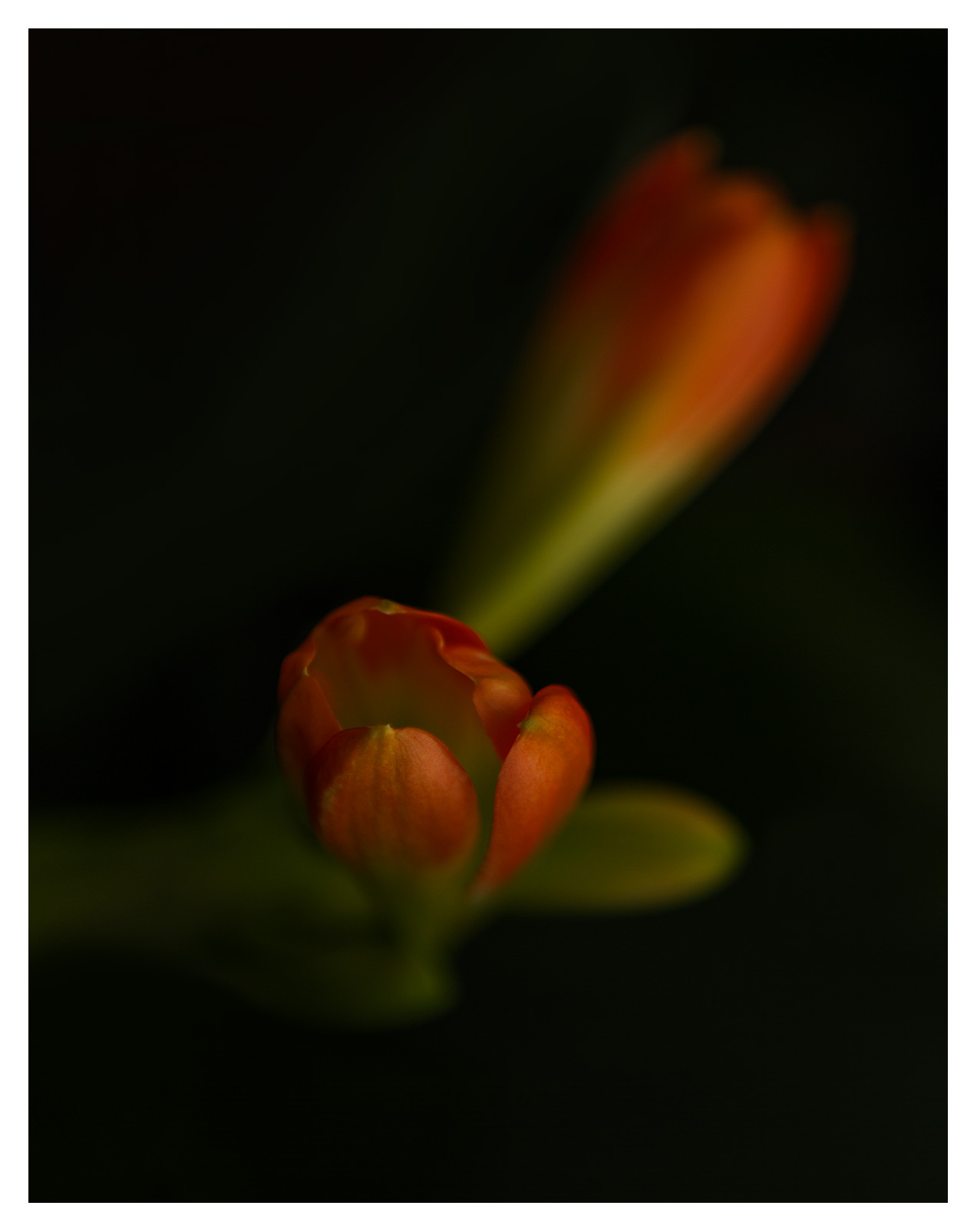 Sort painterly image of Sunset Orange Freesia against a dark background like oil painting